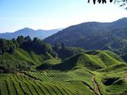 Beautiful Tea Garden Sale in North Bengal at Nominal Prices