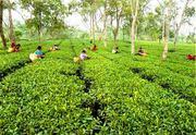 Beautiful North Bengal Tea Garden on Sale