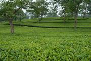 Beautiful Tea Garden at Dooars is for Sale