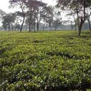 Tea Garden Industry in West Bengal