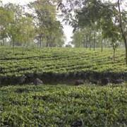 Tea Garden in Nominal Cost at Darjeeling