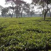 Tea Garden Industry of West Bengal