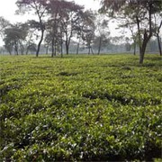 Well Productive Running Tea Garden Sell for Profitable Business