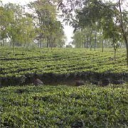 Tea Garden is on Sale in Dooars and Darjeeling